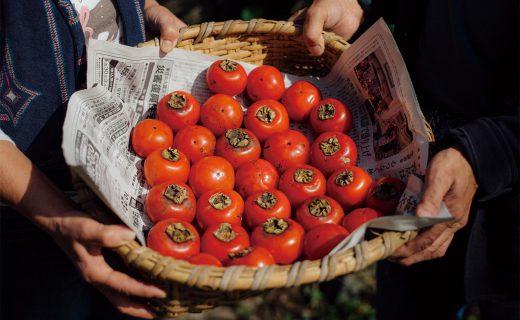 「甲子柿」収穫体験&柿室(かきむろ)見学